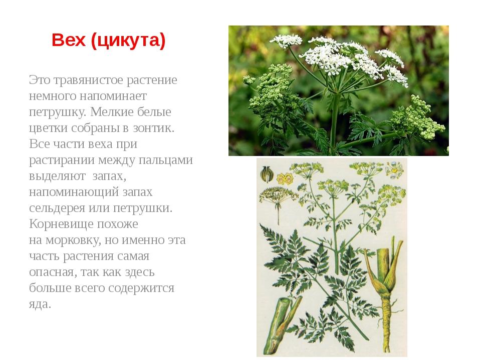 Вех (цикута) Это травянистое растение немного напоминает петрушку. Мелкие бе...