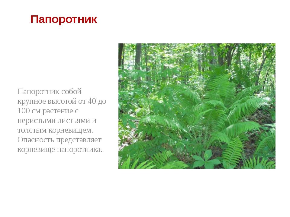 Папоротник Папоротник собой крупное высотой от 40 до 100 см растение с перис...