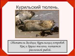 Курильский тюлень. Обитатель далёких Курильских островов. Как и другие тюлени