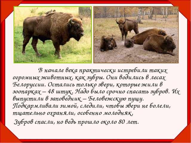 В начале века практически истребили таких огромных животных, как зубры. Он...