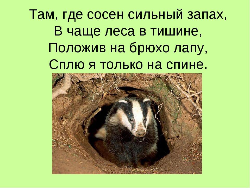 Там, где сосен сильный запах, В чаще леса в тишине, Положив на брюхо лапу, Сп...