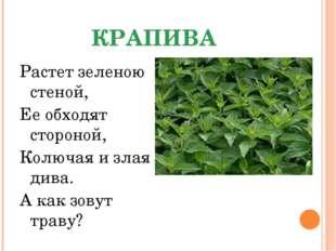 КРАПИВА Растет зеленою стеной, Ее обходят стороной, Колючая и злая дива. А ка