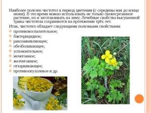 Наиболее полезен чистотел в период цветения (с середины мая до конца июня). В