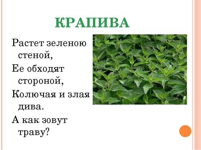 КРАПИВА Растет зеленою стеной, Ее обходят стороной, Колючая и злая дива. А ка...