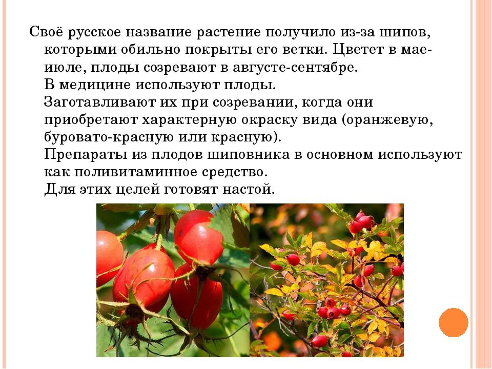 Своё русское название растение получило из-за шипов, которыми обильно покрыты...