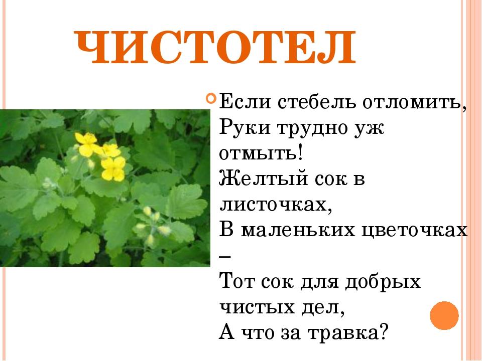 ЧИСТОТЕЛ Если стебель отломить, Руки трудно уж отмыть! Желтый сок в листочках...