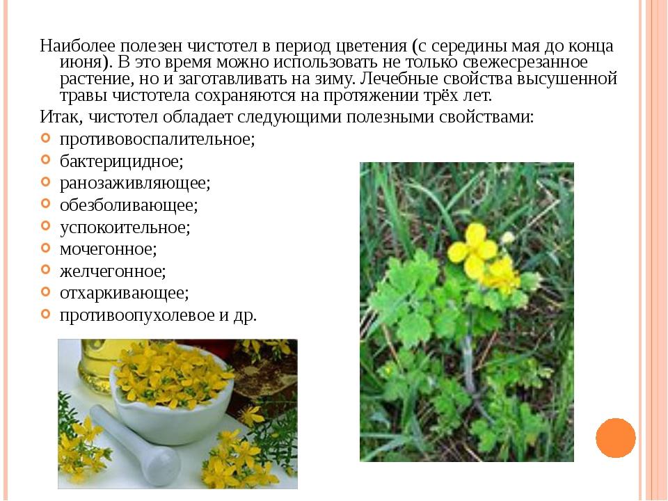 Наиболее полезен чистотел в период цветения (с середины мая до конца июня). В...