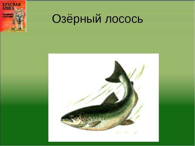 Озёрный лосось