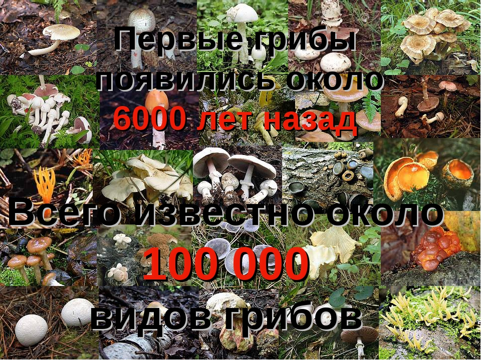Всего известно около 100 000 видов грибов Первые грибы появились около 6000 л...