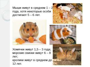 Мыши живут в среднем 1– 2 года, хотя некоторые особи достигают 5– 6 лет. Хо