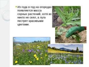 Из года в год на огородах появляется масса сорных растений, хотя их никто не