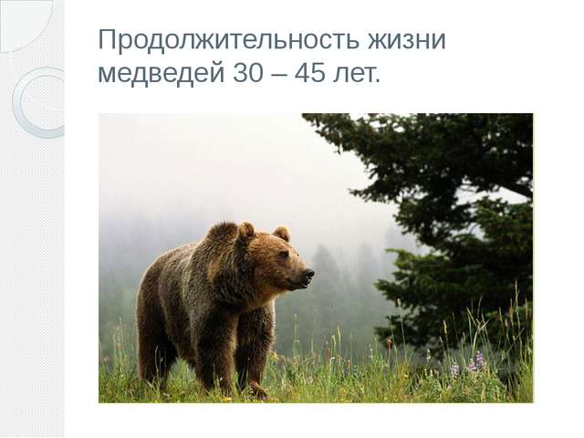 Продолжительность жизни медведей 30– 45 лет.