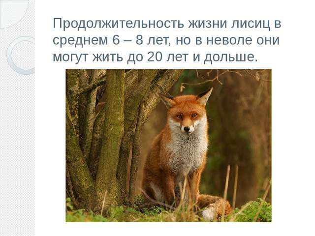 Продолжительность жизни лисиц в среднем 6– 8 лет, но в неволе они могут жить...