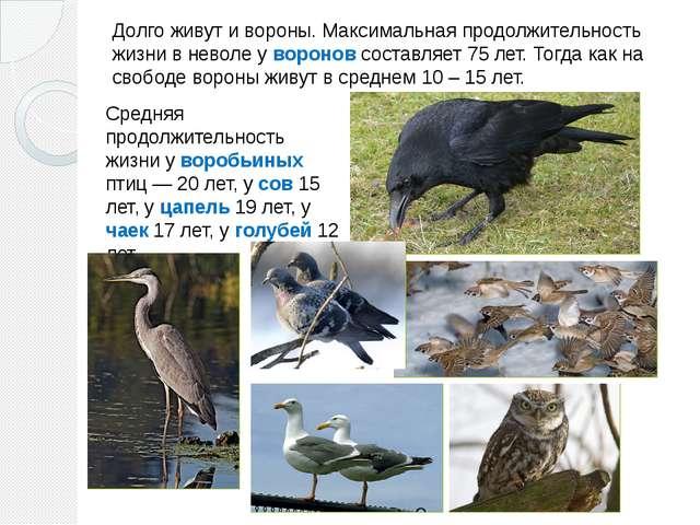 Долго живут и вороны. Максимальная продолжительность жизни в неволе у воронов...