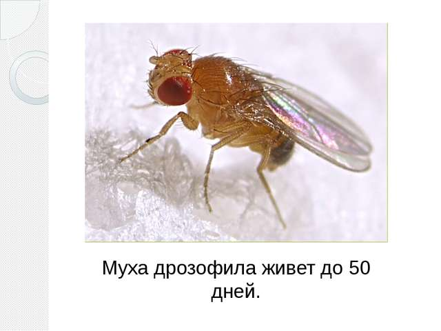 Муха дрозофила живет до 50 дней.