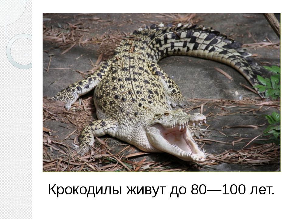 Крокодилы живут до 80—100 лет.