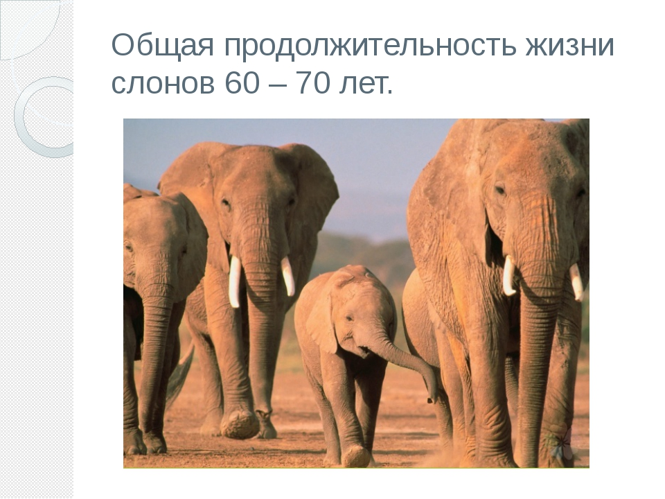 Общая продолжительность жизни слонов 60– 70 лет.