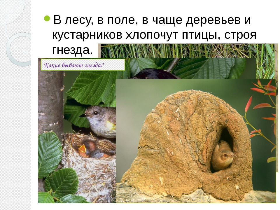 В лесу, в поле, в чаще деревьев и кустарников хлопочут птицы, строя гнезда. К...