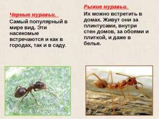 Черные муравьи. Самый популярный в мире вид. Эти насекомые встречаются и как