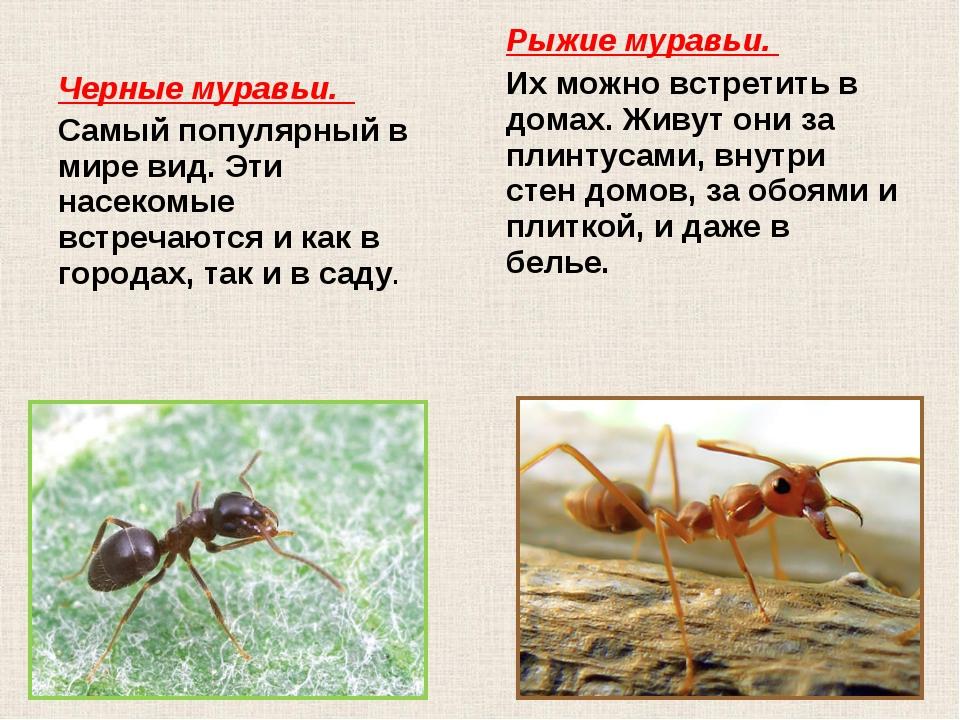 Черные муравьи. Самый популярный в мире вид. Эти насекомые встречаются и как...