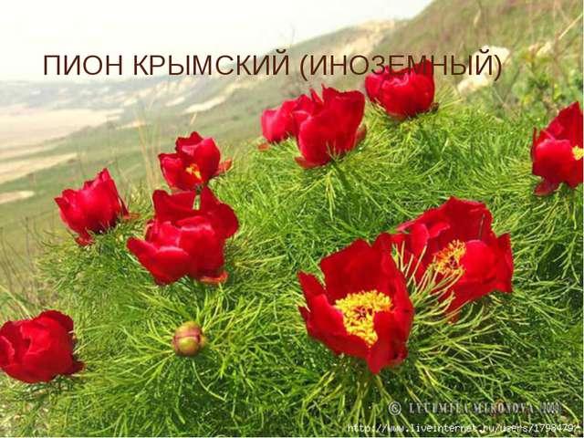 ПИОН КРЫМСКИЙ (ИНОЗЕМНЫЙ)