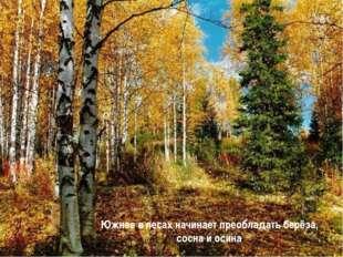 Южнее в лесах начинает преобладать берёза, сосна и осина