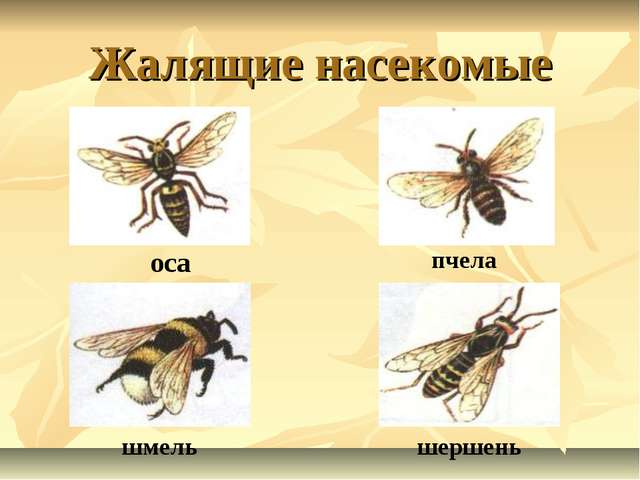 Жалящие насекомые оса пчела шмель шершень