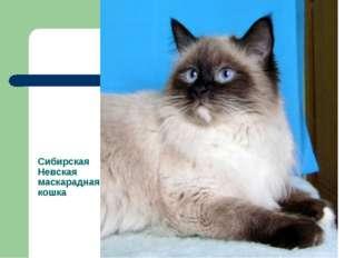 Сибирская Невская маскарадная кошка