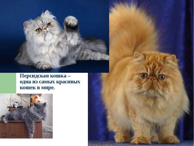 Персидская кошка – одна из самых красивых кошек в мире.