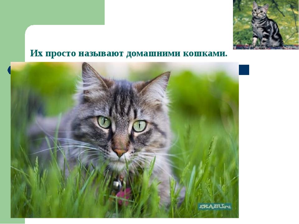 Их просто называют домашними кошками.