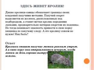 ЗДЕСЬ ЖИВЕТ КРОЛИК! Дикие кролики-самцы обозначают границы своих владений пах