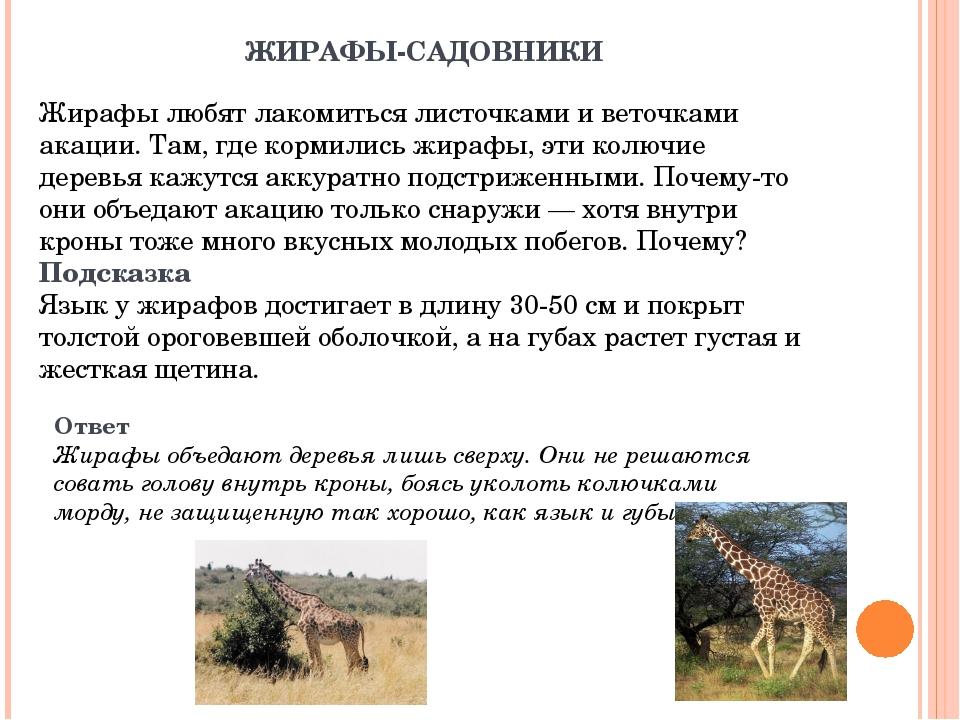 ЖИРАФЫ-САДОВНИКИ Жирафы любят лакомиться листочками и веточками акации. Там,...
