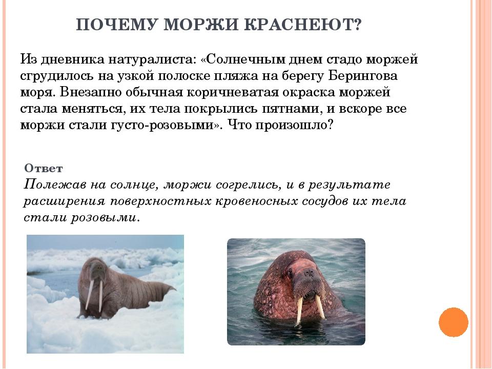 ПОЧЕМУ МОРЖИ КРАСНЕЮТ? Из дневника натуралиста: «Солнечным днем стадо моржей...