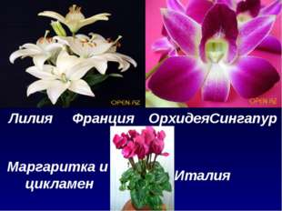 Орхидея Сингапур Лилия Франция Италия Маргаритка и цикламен