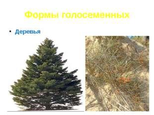 Формы голосеменных Деревья Кустарники