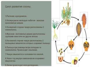 Цикл развития сосны. 1.Растение однодомное. 2.На верхушках молодых побегов -