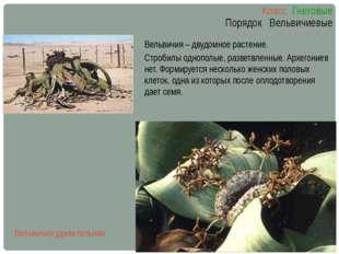 Класс Гнетовые Порядок Вельвичиевые Вельвичия – двудомное растение. Стробилы