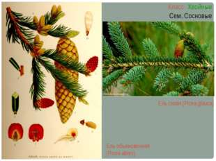 Ель сизая (Picea glauca) Класс Хвойные Сем. Сосновые Ель обыкновенная (Picea