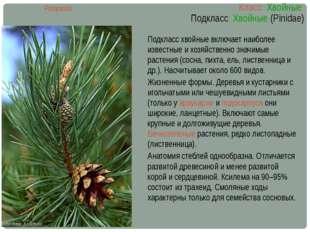 Класс Хвойные Подкласс Хвойные (Pinidae) Pinopsida Подкласс хвойные включает
