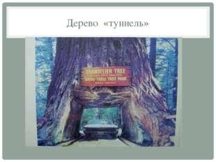 Дерево «туннель»