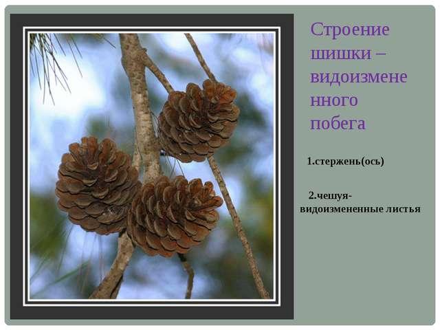 Строение шишки –видоизмененного побега 1.стержень(ось) 2.чешуя-видоизмененные...