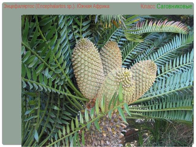 Энцефаляртос (Encephalartos sp.). Южная Африка Класс Саговниковые