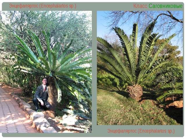 Энцефаляртос (Encephalartos sp.) Класс Саговниковые Энцефаляртос (Encephalart...