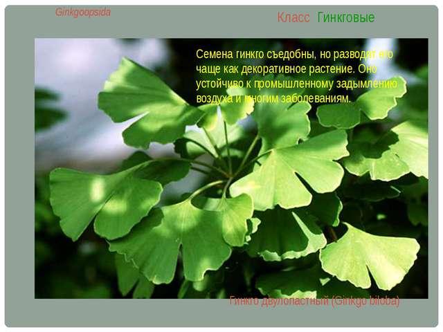 Класс Гинкговые Ginkgoopsida Гинкго двулопастный (Ginkgo biloba) Семена гинкг...