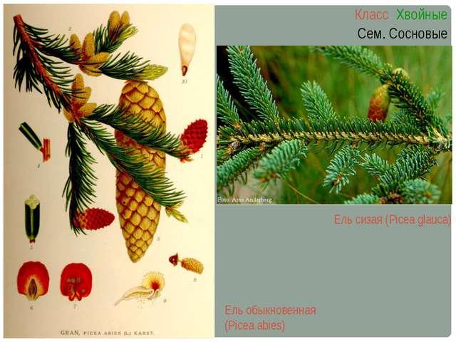 Ель сизая (Picea glauca) Класс Хвойные Сем. Сосновые Ель обыкновенная (Picea...