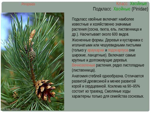 Класс Хвойные Подкласс Хвойные (Pinidae) Pinopsida Подкласс хвойные включает...