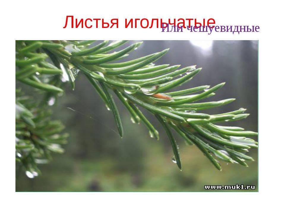 Листья игольчатые Или чешуевидные