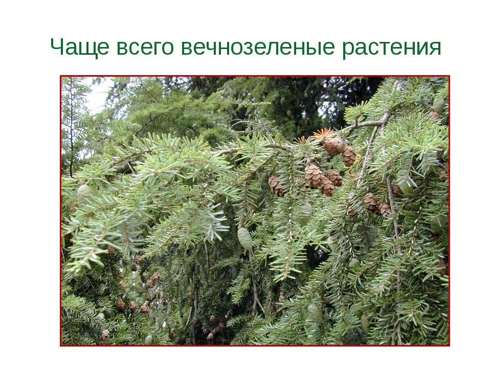 Чаще всего вечнозеленые растения