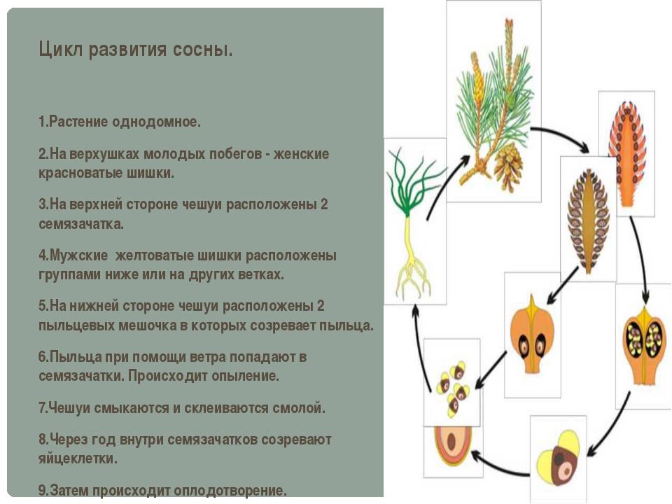 Цикл развития сосны. 1.Растение однодомное. 2.На верхушках молодых побегов -...