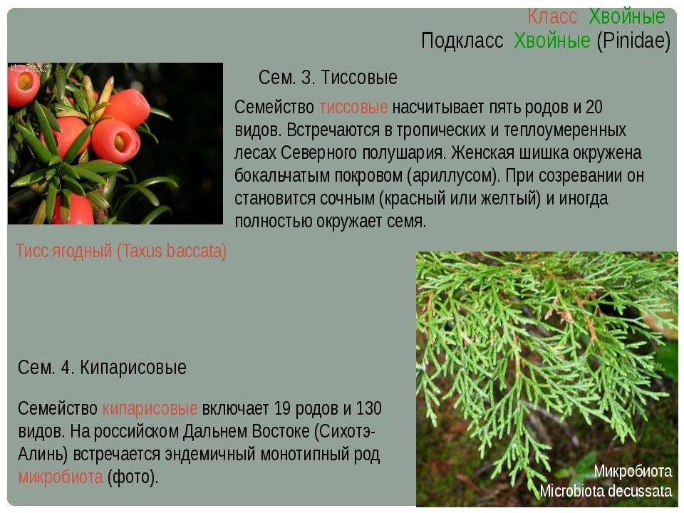 Семейство тиссовые насчитывает пять родов и 20 видов. Встречаются в тропическ...